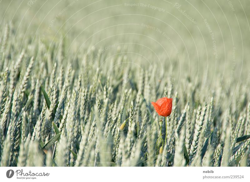 alone, alone Grain Plant Summer Flower Blossom Agricultural crop Wild plant Poppy blossom Esthetic Fragrance Green Red Spring fever Ease Nature Far-off places