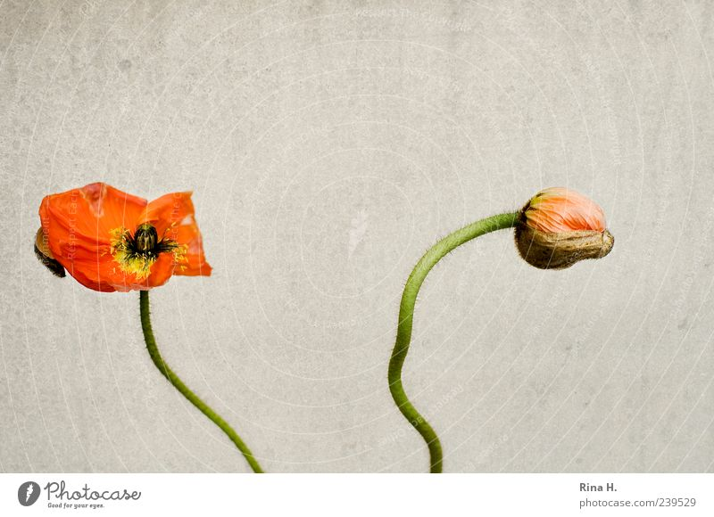 Poppy Seed Time Blossom Faded Yellow Transience Colour photo Deserted Copy Space top Bud 2 Red Stalk Blossom leave Bright background