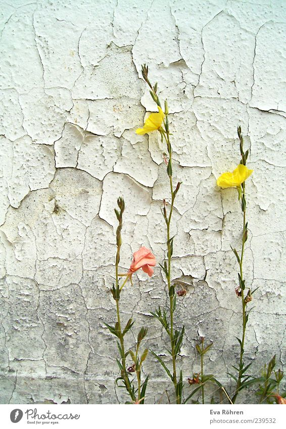 Flowers in front of a crumbly wall Environment Plant Blossom Wild plant Wall (barrier) Wall (building) Facade Concrete Blossoming Illuminate Old Esthetic