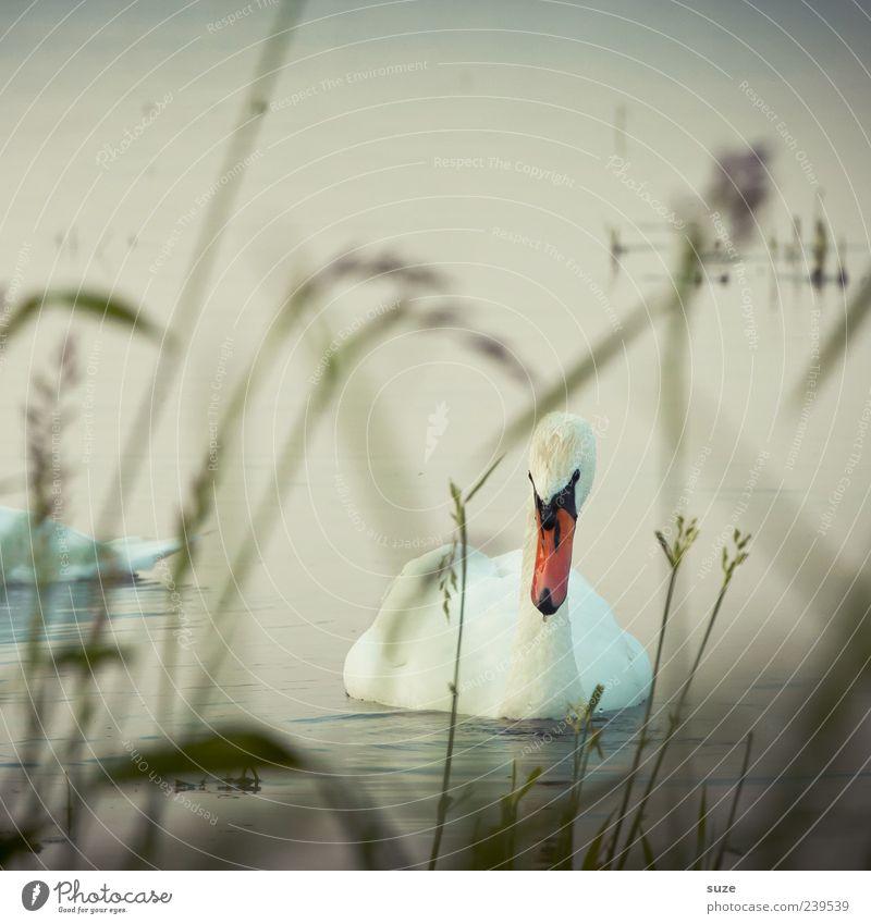 Nature Beautiful Water Animal Environment Grass Lake Head Bird Wild animal Esthetic Feather Observe Romance Lakeside Swan
