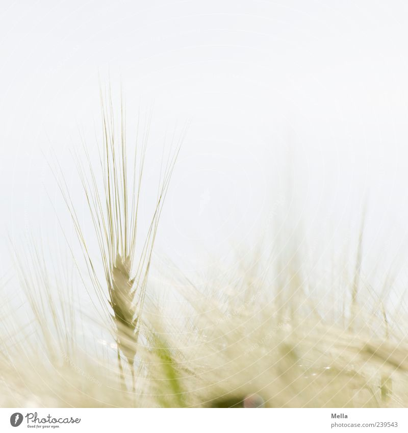 Almost summer Environment Nature Plant Summer Agricultural crop Grain Wheat Barley Field Growth Bright Natural Agriculture Cornfield Stick out Vertical