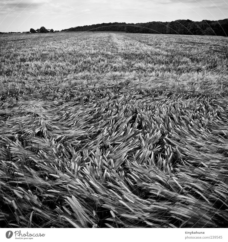 Plant Summer Forest Landscape Movement Wind Field Growth Many Grain Agriculture Black & white photo Ear of corn Barley Agricultural crop Cornfield