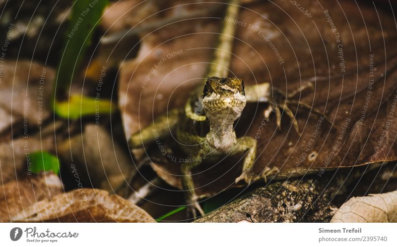 The Look Earth Autumn Forest Wild animal Gecko Iguana 1 Animal Observe Threat Exotic Small Cute Speed Bravery Watchfulness Self Control Curiosity Nerviness