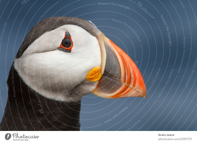 Atlantic Puffin Nature Vacation & Travel Summer Beautiful White Ocean Animal Black Eating Environment Coast Bird Wild Wild animal Europe Feather