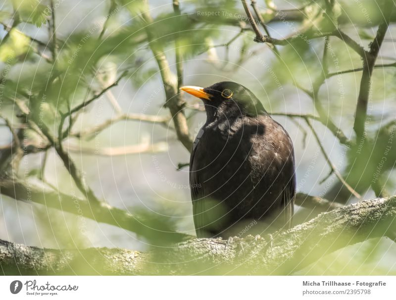 Blackbird in a tree Environment Nature Plant Animal Sun Sunlight Beautiful weather Tree Leaf Twigs and branches Wild animal Bird Animal face Wing Beak Eyes