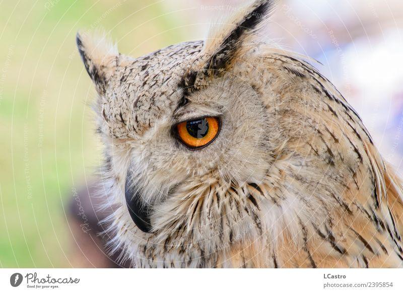 Eurasian eagle owl portrait Safari Animal Pet Bird Animal face Zoo 1 Old Large Smart Wild Brown White Patient Wisdom Environmental protection Know Bird of prey