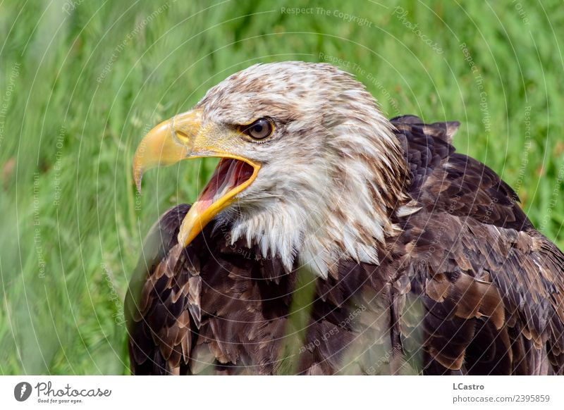 Bald eagle portrait on green grass Nature Animal Grass Bird Animal face Zoo 1 Federal eagle Scream Argument Aggression Anger Brown White Honor Bravery