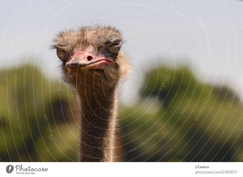Suspicious ostrich portrait Nature Animal Bird Animal face Ostrich Neck Beak 1 Observe Think To talk Looking Argument Threat Disgust Rebellious Wild Anger