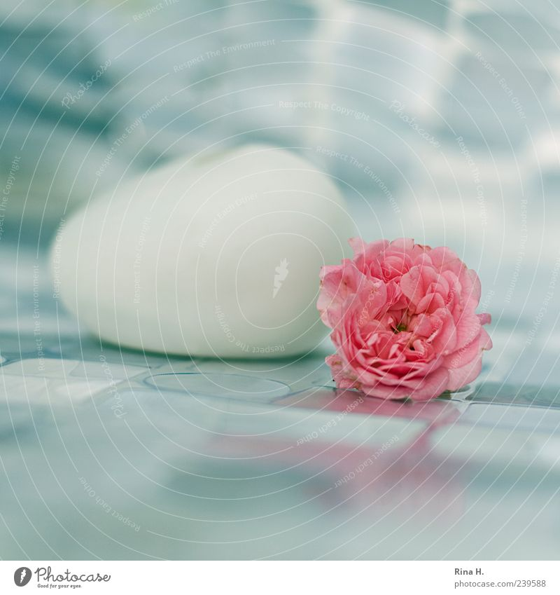 White Blossom Pink Lie Esthetic Rose Transience Still Life Flower