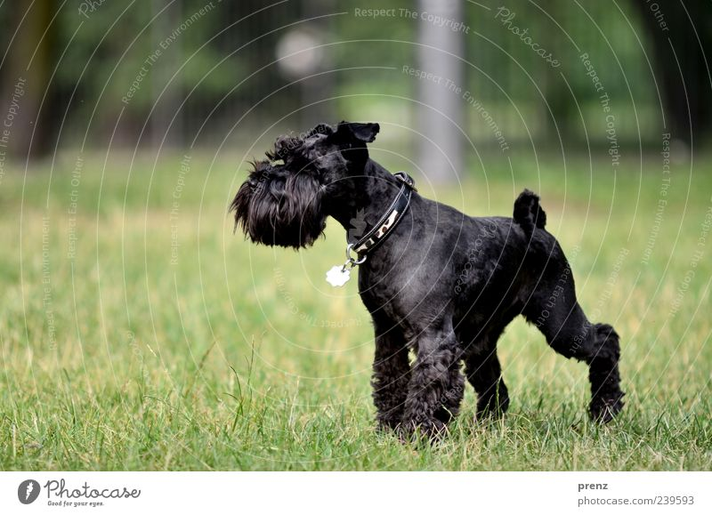 in the park Animal Grass Park Meadow Pet Dog 1 Stand Green Black Miniature Schnauzer Snout Neckband Colour photo Exterior shot Deserted Day Sunlight