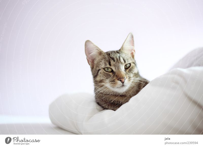 White Animal Gray Cat Brown Bed Animal face Lie To enjoy Safety (feeling of) Pet Self-confident Sympathy Duvet Love of animals