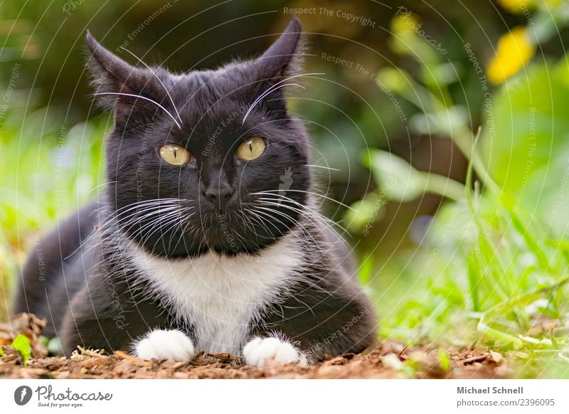 cat's eye Animal Pet Cat 1 Lie Looking Happy Beautiful Uniqueness Cuddly Natural Curiosity Cute Green Black Contentment Warm-heartedness Love Love of animals
