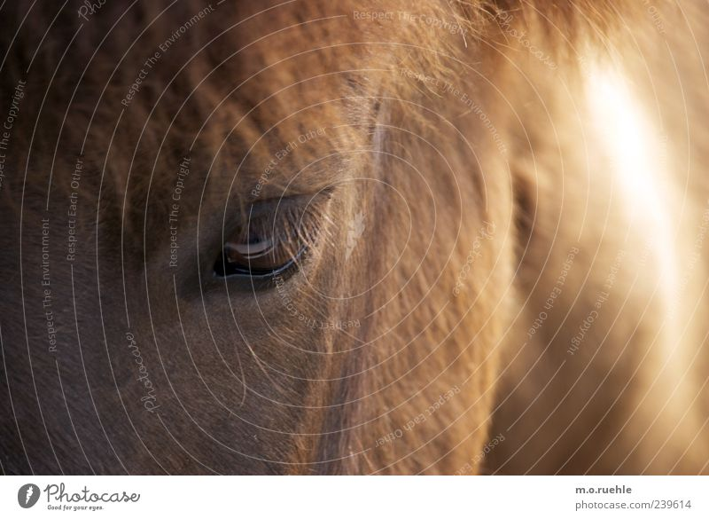 in the eye Eyes Animal Pet Horse 1 Natural Wild Soft Trust Eyelash Pony Horse's head Mane Animal face Animalistic Pelt Colour photo Deserted Copy Space left