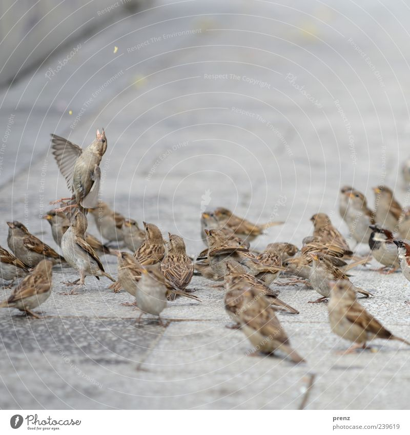 one is trying Animal Bird Group of animals Flying To feed Gray Sparrow Floating Footpath Feeding Wing Colour photo Exterior shot Deserted Day