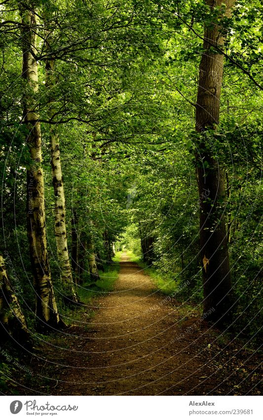 Nature Old Green Tree Plant Summer Leaf Loneliness Calm Forest Landscape Lanes & trails Brown Earth Natural Esthetic