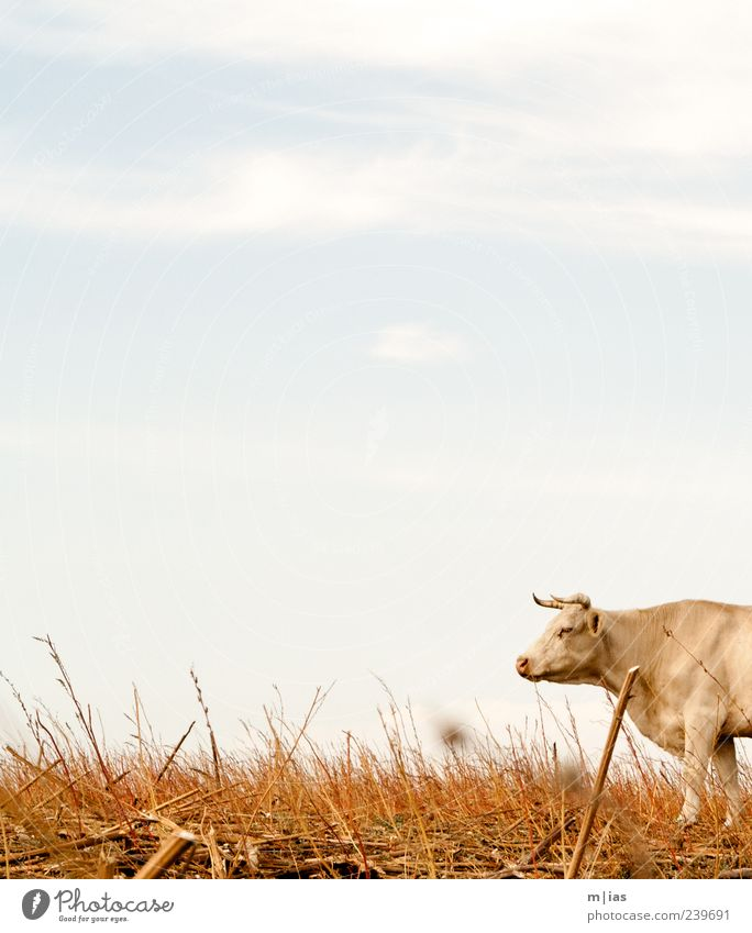 Sky Summer Animal Landscape Grass Power Field Observe Pelt Hot Dry Agriculture Strong Cow Antlers Willpower