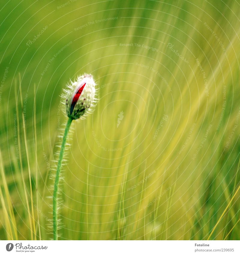 Nature Green Red Plant Summer Flower Environment Blossom Bright Field Natural Growth Near Poppy Bud Cornfield