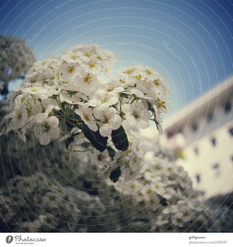 big-city heroes Plant Sky Cloudless sky Spring Summer Beautiful weather Flower Bushes Leaf Blossom House (Residential Structure) Facade Window Blossoming Growth