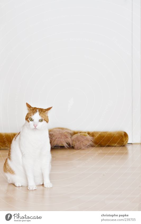 hungry unhappy cat Pet Cat 1 Animal Cute Indifference Sit White Pelt Colour photo Interior shot Copy Space top Animal portrait Brown Full-length