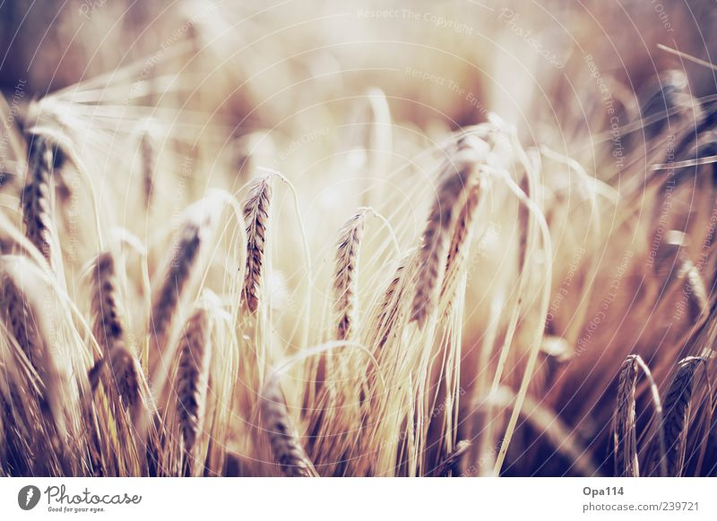Nature Plant Summer Environment Yellow Emotions Moody Brown Contentment Field Gold Illuminate Beautiful weather Ear of corn Barley Isolated Image