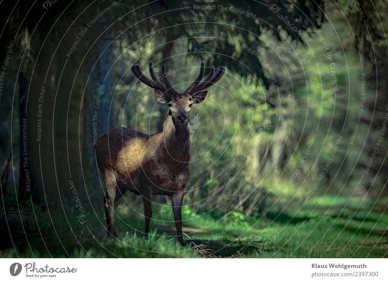 Red deer in bast Environment Nature Spring Summer Tree Grass Forest Animal Wild animal Animal face Pelt Deer 1 Observe Wait Elegant Brown Gray Green
