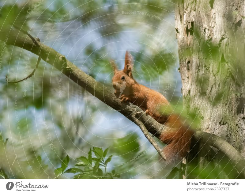Squirrels in the sunshine Environment Nature Animal Sky Sun Beautiful weather Tree Leaf Forest Wild animal Animal face Pelt Claw Paw Tails Ear 1 Observe