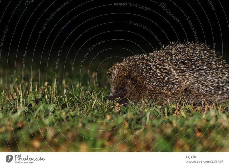 nocturnal active Nature Animal Lawn Wild animal Hedgehog 1 Thorny Brown Green Black Night Night shot Colour photo Exterior shot Deserted Copy Space top Evening
