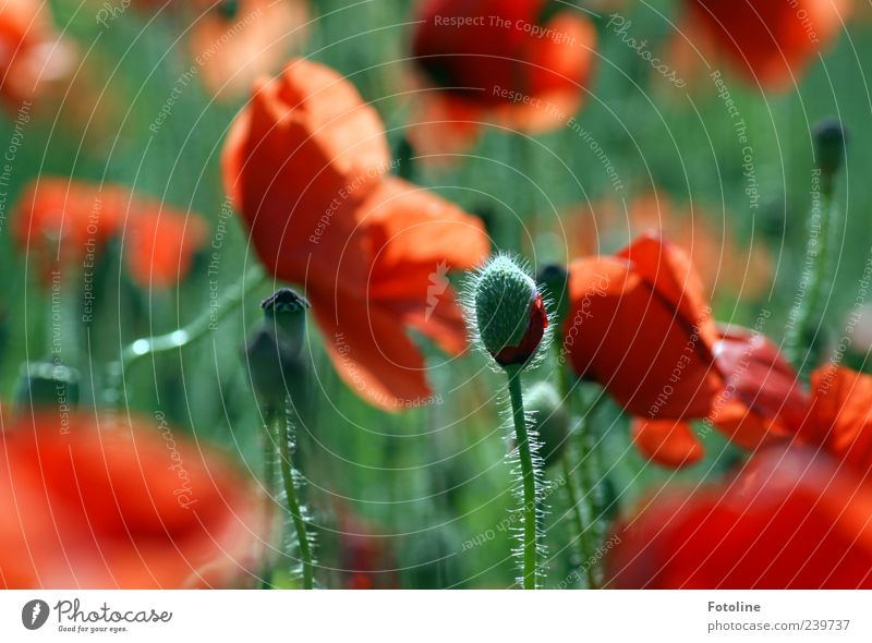 life cycles Environment Nature Plant Summer Flower Leaf Blossom Wild plant Bright Natural Green Red Bud Poppy Poppy blossom Poppy field Poppy capsule