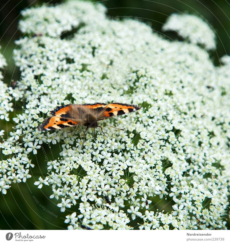 Nature White Beautiful Red Plant Summer Animal Black Sit Natural Esthetic Wing Uniqueness Insect Butterfly To feed