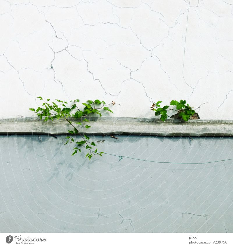Nature Green Plant Flower Wall (building) Gray Wall (barrier) Uniqueness Derelict Plaster Foliage plant Torn Wild plant Fringe zone