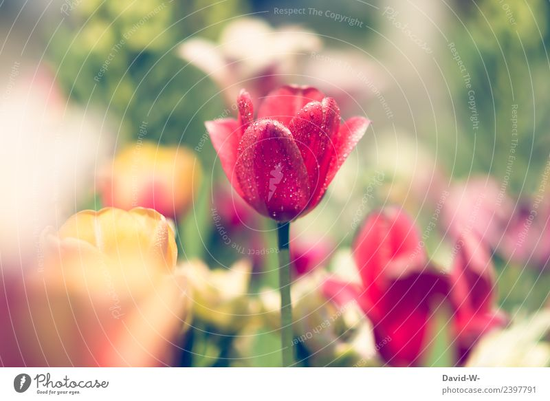 short cooling Art Artist Work of art Painting and drawing (object) Environment Nature Landscape Plant Air Sun Sunlight Climate Beautiful weather Flower Tulip