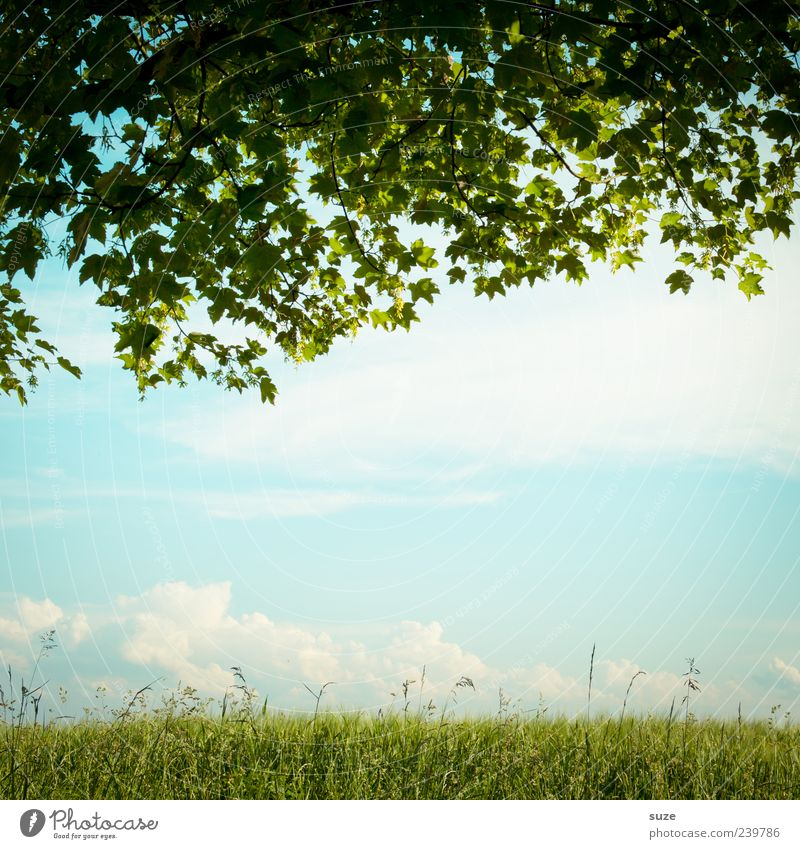 Sky Nature Green Tree Summer Leaf Clouds Environment Landscape Meadow Grass Dream Growth Beautiful weather Idyll Maple tree