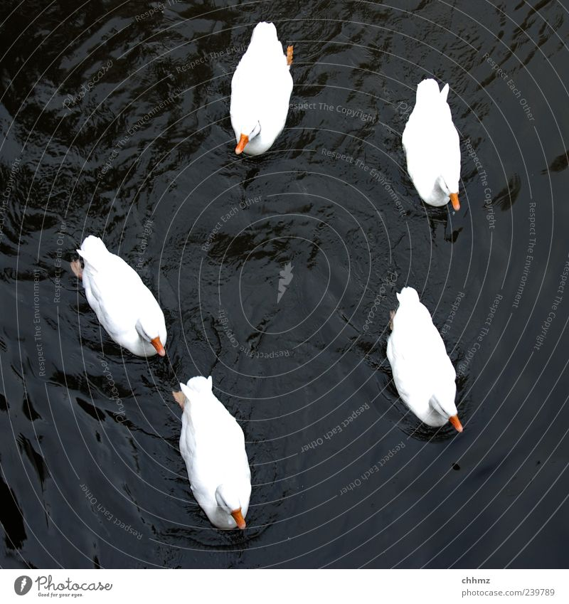 five friends Animal Water Pond Lake River Bird Duck Duck birds Group of animals Swimming & Bathing Beautiful Black White Together Attachment Float in the water