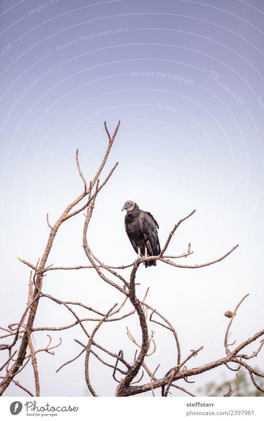 American Black vulture Coragyps atratus Nature Animal Tree Park Pond Wild animal Bird 1 Sit Wait Blue Death black vulture Vulture avian Scavenger Bird of prey