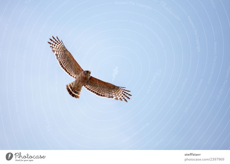 Red shouldered Hawk Buteo lineatus Sky Animal Wild animal Bird Wing 1 Flying Blue Brown red-shouldered hawk Bird of prey raptor Marsh Wetlands Corkscrew Swamp