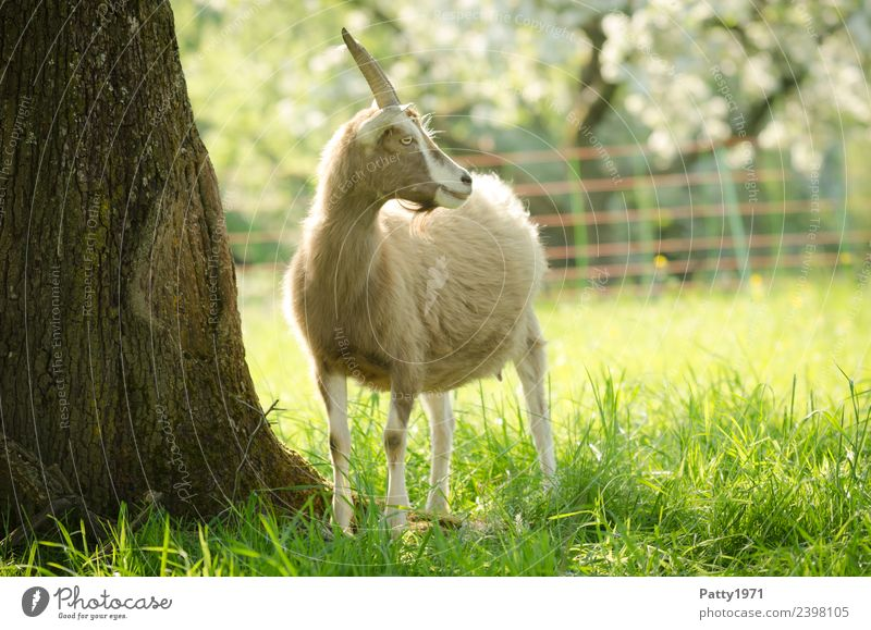 Nature Landscape Animal Meadow Idyll Stand Pasture Pet Farm animal Goats