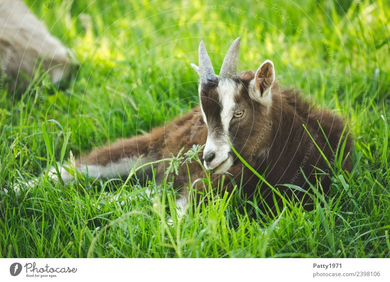 Nature Landscape Relaxation Animal Baby animal Meadow Lie Idyll Pasture Pet Farm animal Goats