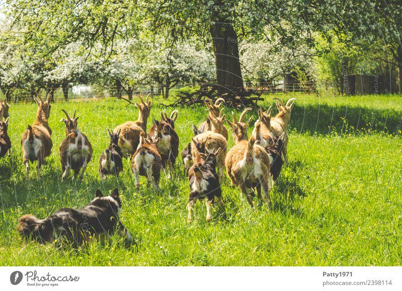 Nature Dog Landscape Animal Meadow Idyll Walking Protection Pasture Pet Teamwork Herd Farm animal Goats Guard