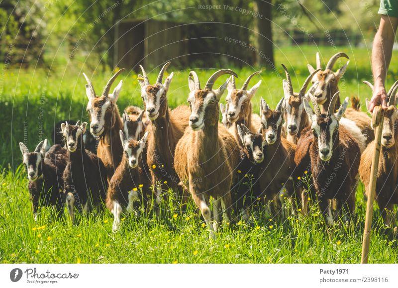 Animal Idyll Walking Group of animals Attachment Pet Herd Farm animal Goats Shepherd Goat herd