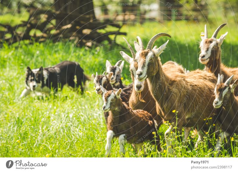 Border Collie is herding herds of goats Nature Landscape Meadow Pasture Animal Pet Farm animal Dog Goats Goat herd border collie Herding dog Shepherd dog