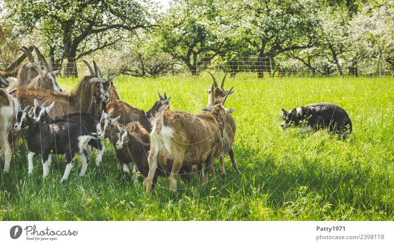 Border Collie is herding herds of goats Meadow Pasture Animal Pet Farm animal Dog Goat herd Goats border collie Herding dog Shepherd dog Thuringian Forest Goat