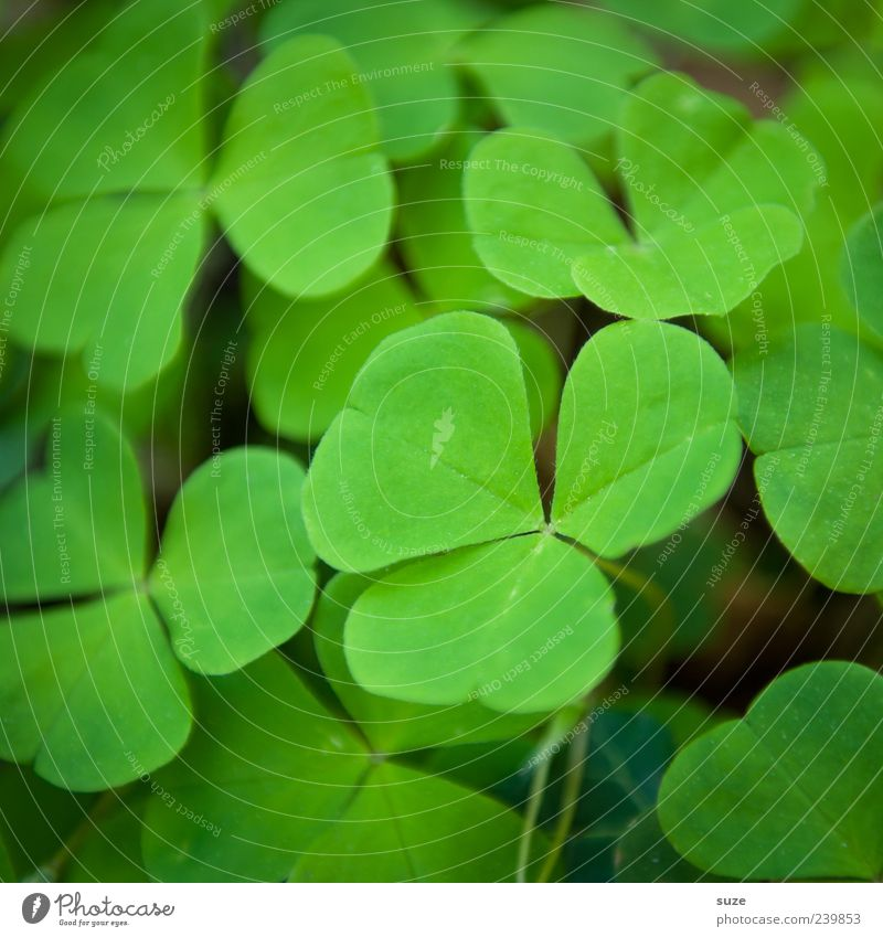 Nature Green Beautiful Plant Environment Emotions Happy Esthetic Sign Many Flower Foliage plant Clover Cloverleaf Wild plant Good luck charm