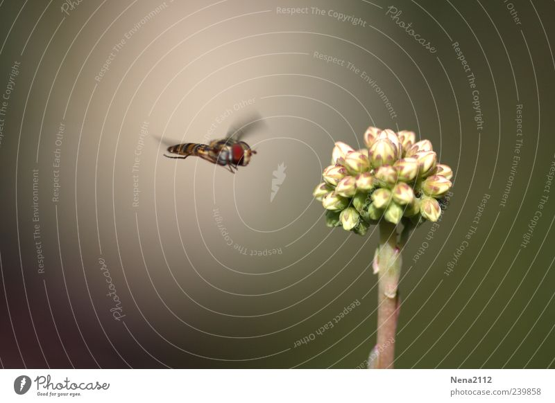 Terrorist? Nature Air Summer Plant Flower Wing 1 Animal Flying White Insect Blossom Bud Target Colour photo Exterior shot Close-up Detail