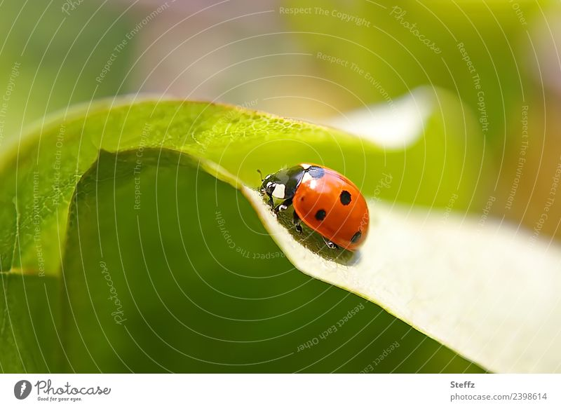 lucky charm Environment Nature Plant Animal Summer Leaf Quince leaf Garden Beetle Ladybird Insect 1 Crawl Round Beautiful Green Red Happy Romance