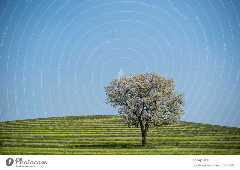 Blossoming tree on green stripes Style Beautiful Healthy Life Harmonious Senses Relaxation Fragrance Vacation & Travel Environment Nature Sky Cloudless sky Sun