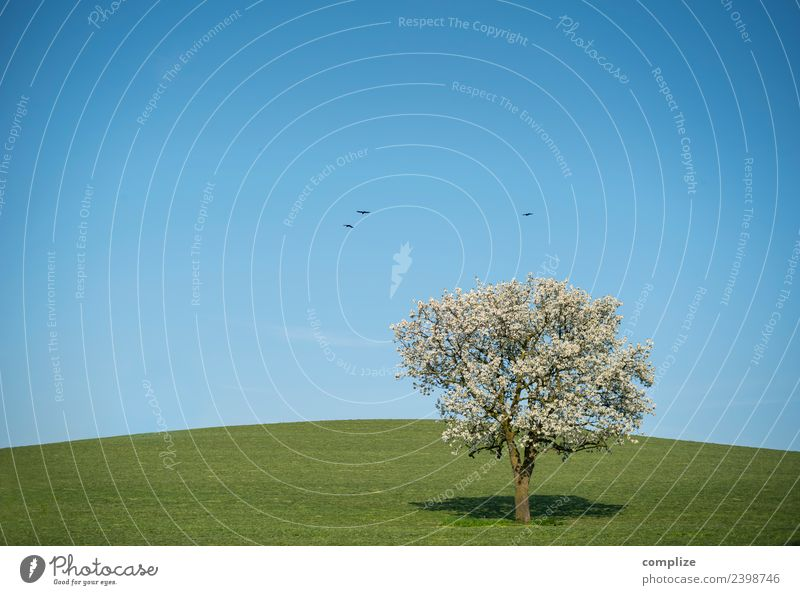 Blue sky, blossoming tree & hill Wellness Harmonious Environment Nature Sky Cloudless sky Horizon Beautiful weather Tree Meadow Field Hill Animal Bird Sign