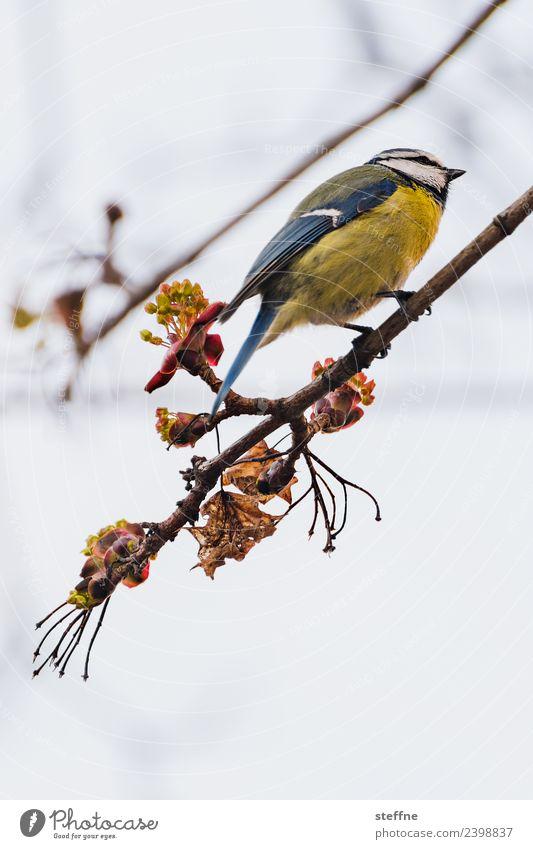 Blue Tit Animal Bird 1 Yellow Spring Tit mouse Branch Songbirds Colour photo Multicoloured Exterior shot Deserted Copy Space top Copy Space bottom