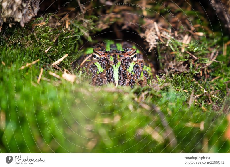 Hidden toad (green, black) looks into the camera Environment Nature Landscape Earth Moss Animal Frog Animal face Painted frog 1 Observe Exceptional Green Black