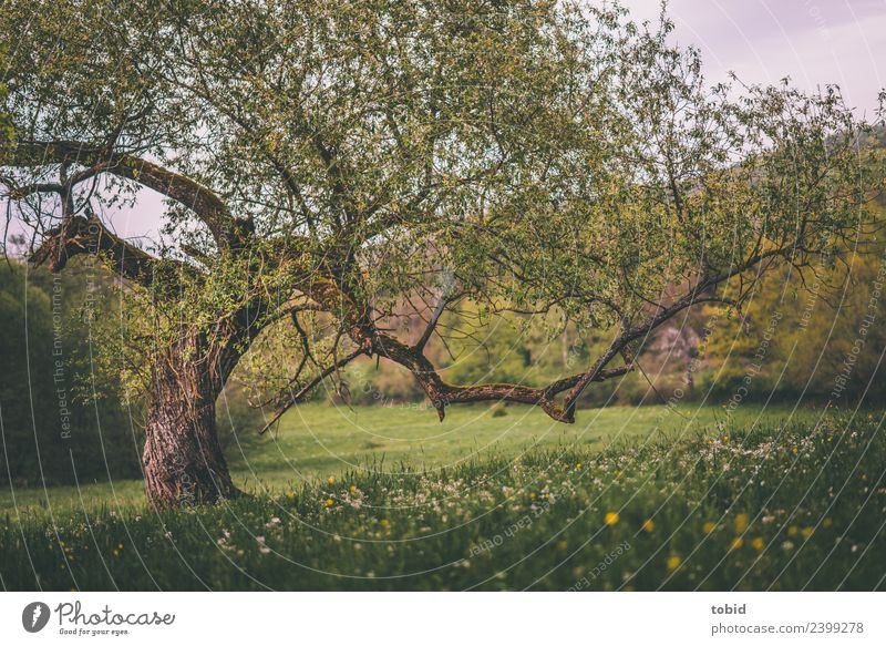 Knotty old tree Nature Landscape Plant Spring Summer Beautiful weather Tree Flower Grass Moss Meadow Forest Hill Idyll Flower meadow Tree bark Headstrong