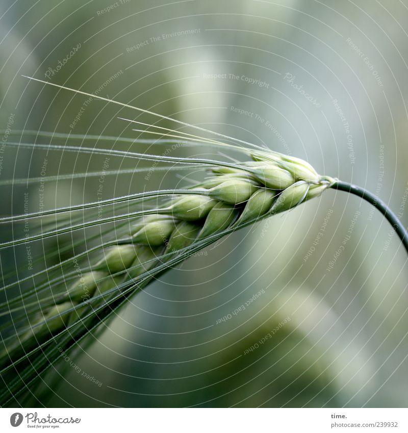 Nature Green Plant Summer Food Growth Grain Agriculture Grain Ear of corn Barley Awn
